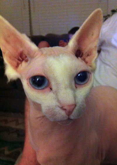 Big eyed Sphynx Cat