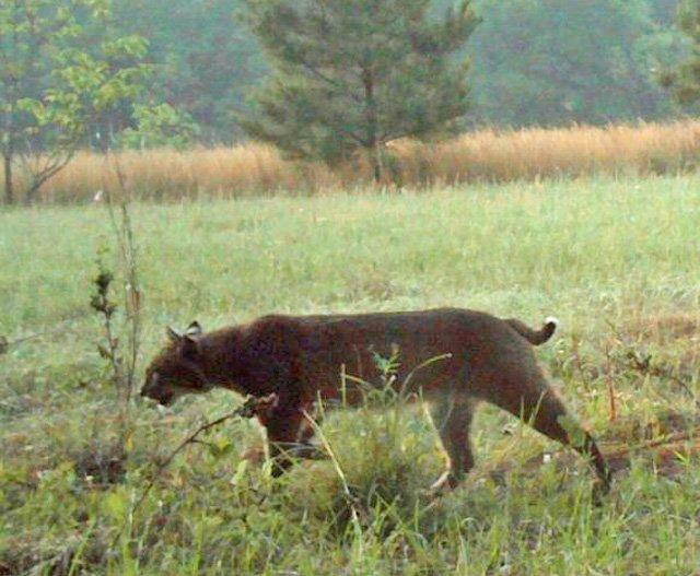 Bobcat cougar hybrid?