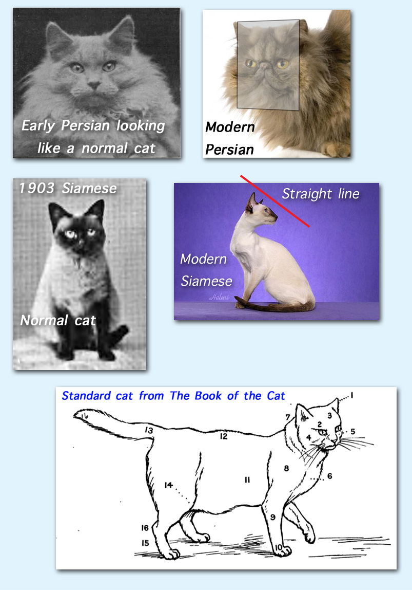 Cat breed standards discussion