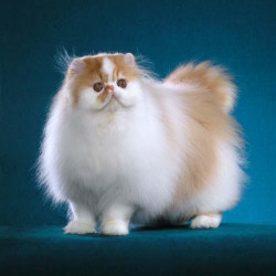 Contemporary flat-faced Persian cat