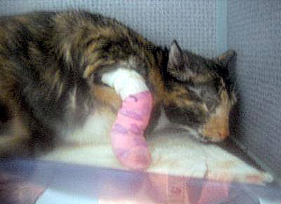 Cat immediately after the declawing operation.