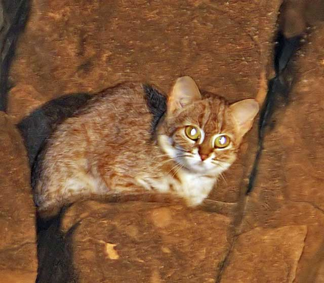 Rusty-spotted cat India