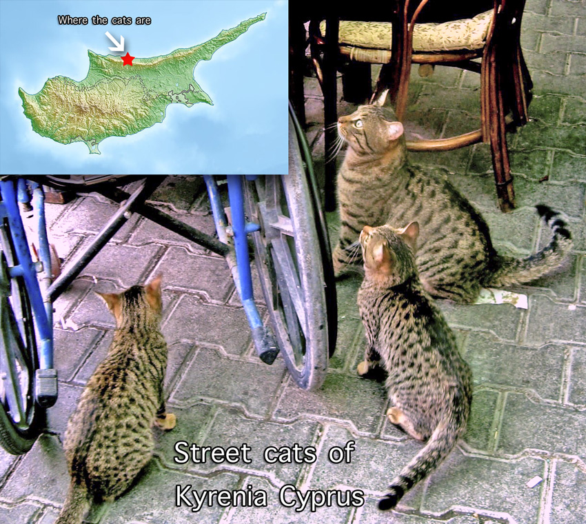 Spotted cats of Cyprus