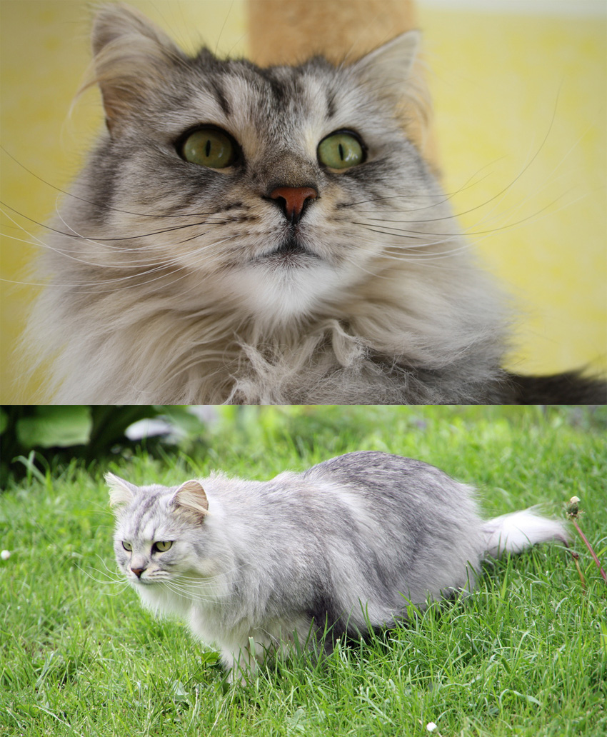 Turned up cat whiskers on Siberian cat