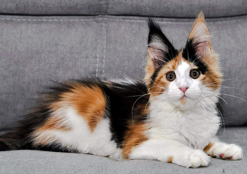 Calico -- Tortoiseshell-and-white -- Maine Coon bred in Russia