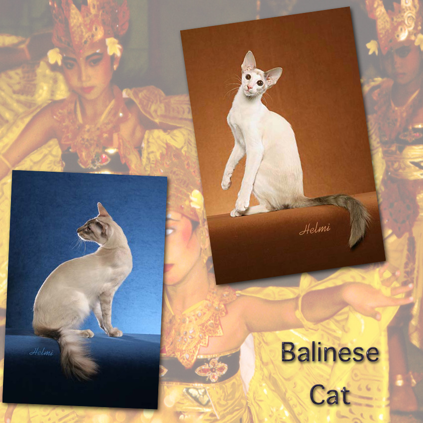 Balinese cat facts for kids