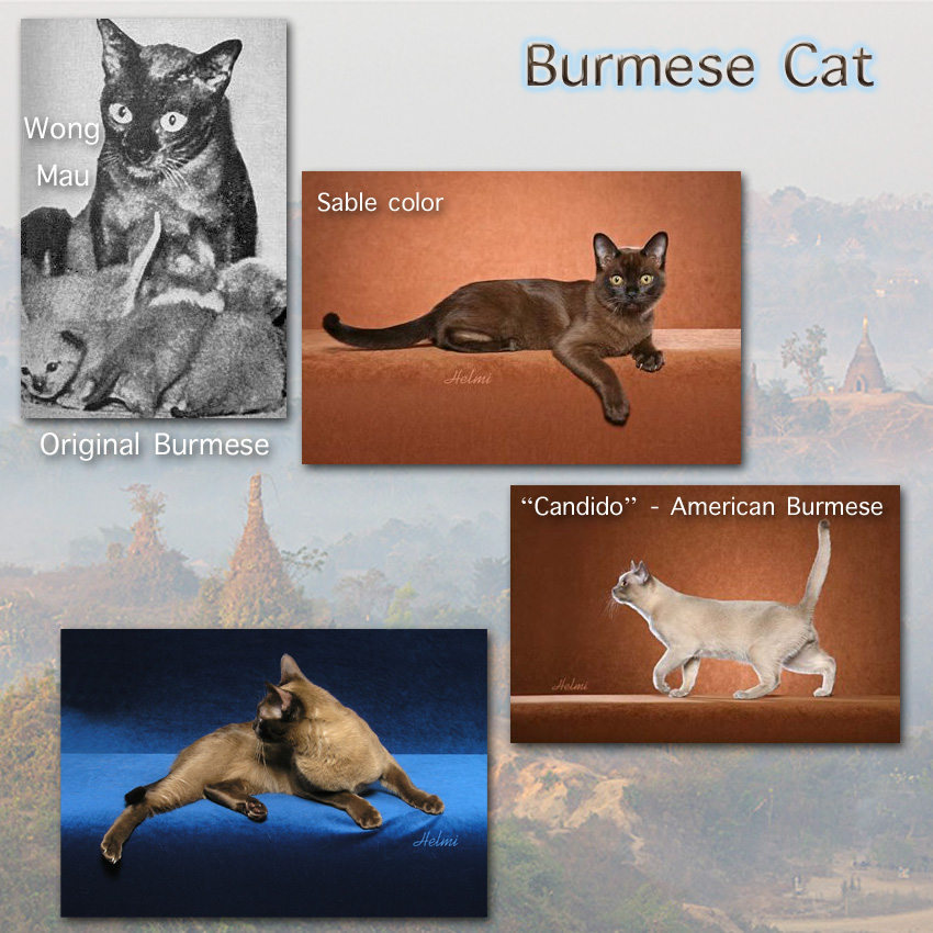 Burmese Cat Facts For Kids