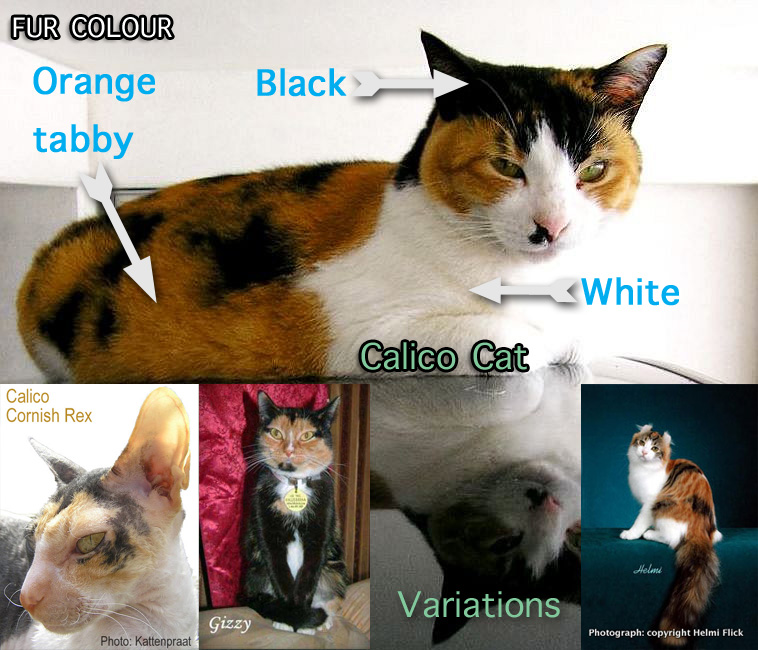 Calico cat facts for kids