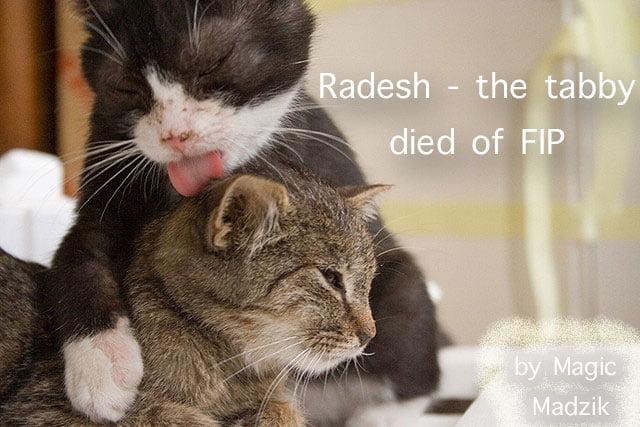 Cat died of FIP