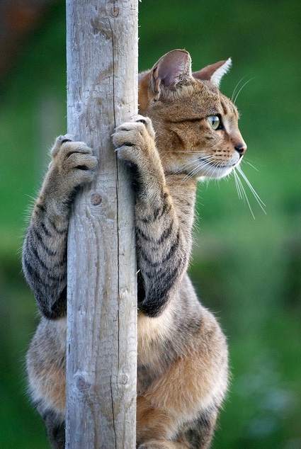Cat using claws to climb and hold