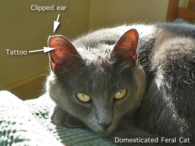 Feral cat ear clipping