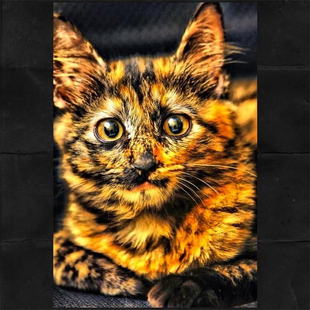Stunning Tortie Cat