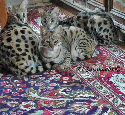 A1-Savannahs-A1-Supremes-Jean-Pierre-3-cats-on-carpet-m