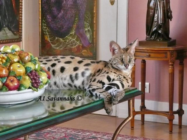 A1-Savannahs-A1-Supremes-Jean-Pierre-Serval-on-table-m