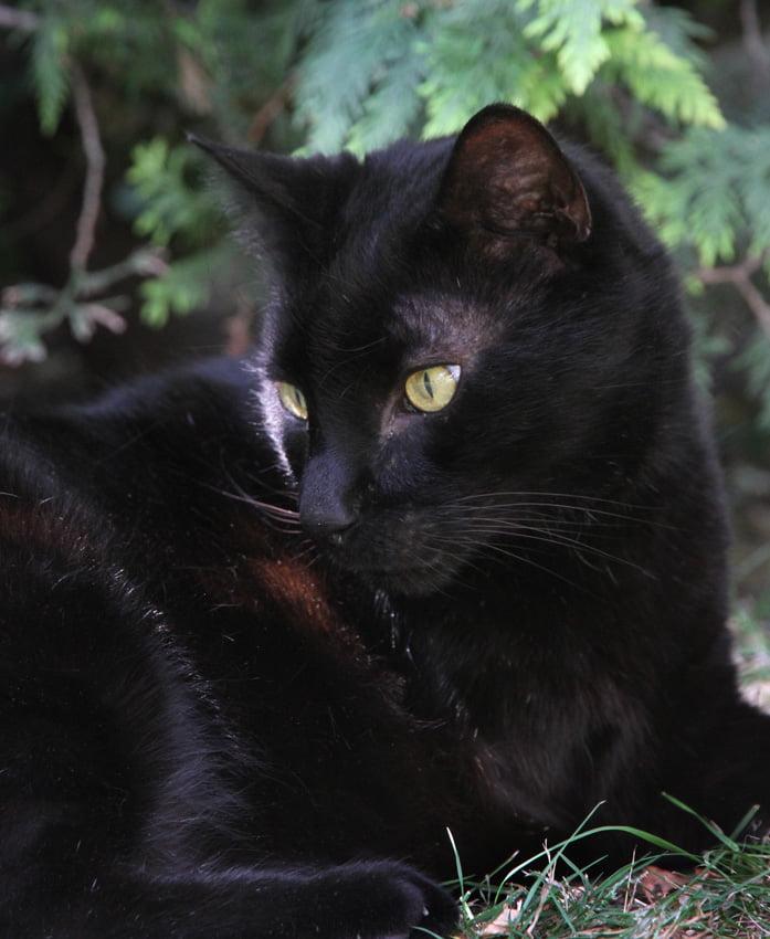 Black cat portrait photograph