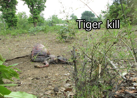 Carcass of tiger kill