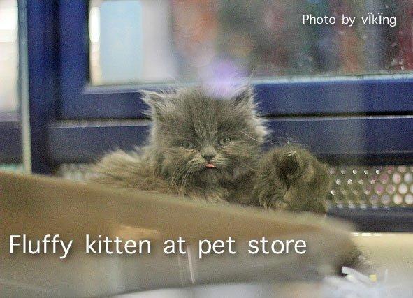 Kitten at a pet store