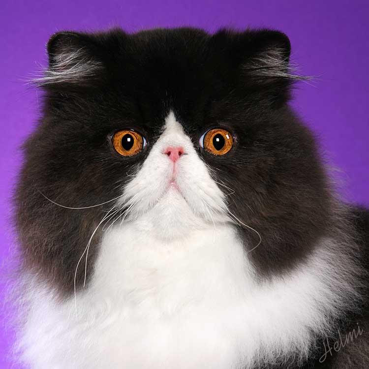 Bicolor black and white Persian cat