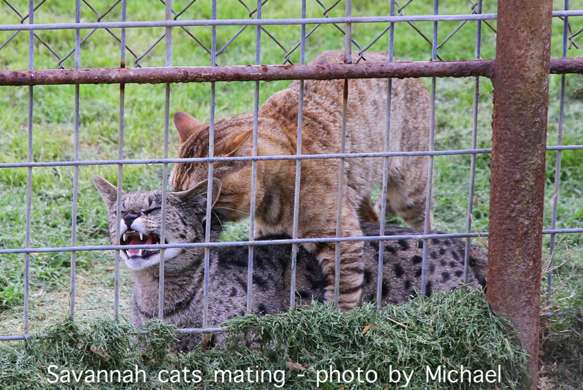 Savannah cats mating