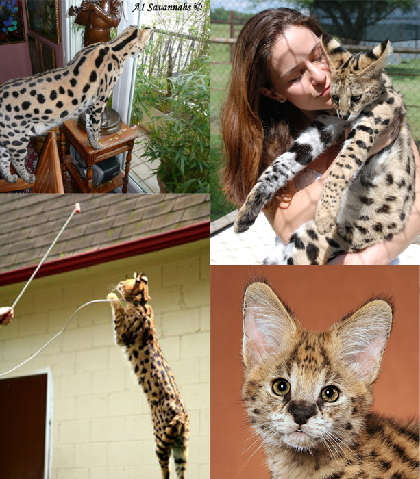 Serval Quiz For Kids