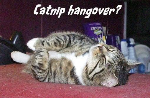 Catnip hangover
