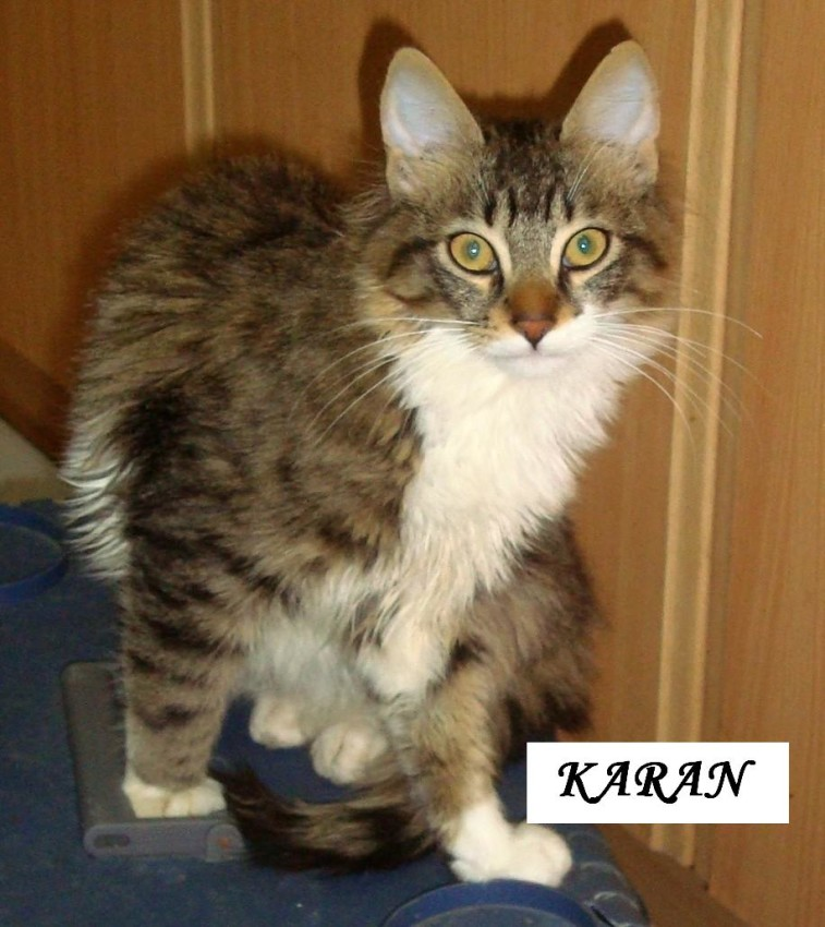 Karan a Turkish Angora cat