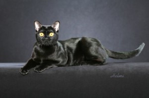 Bombay cat PASSION