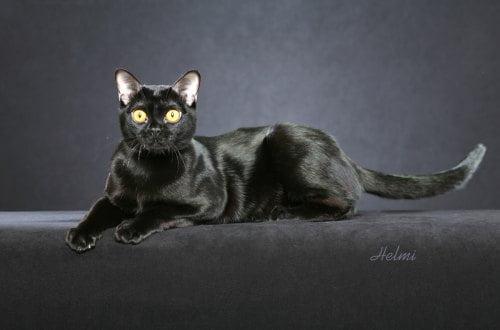 Bombay cat PASSION