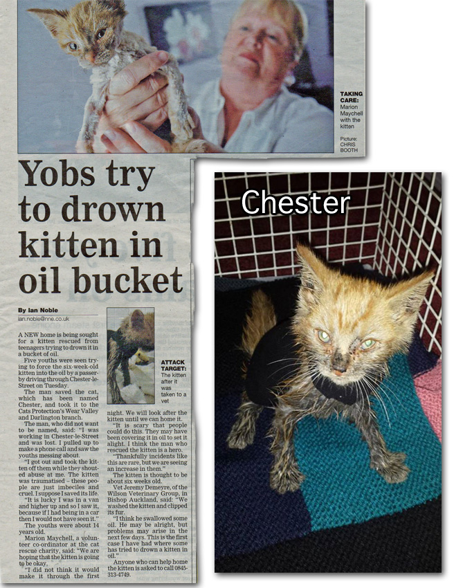 Chester a cat rescued and recovering from animal abuse by kids