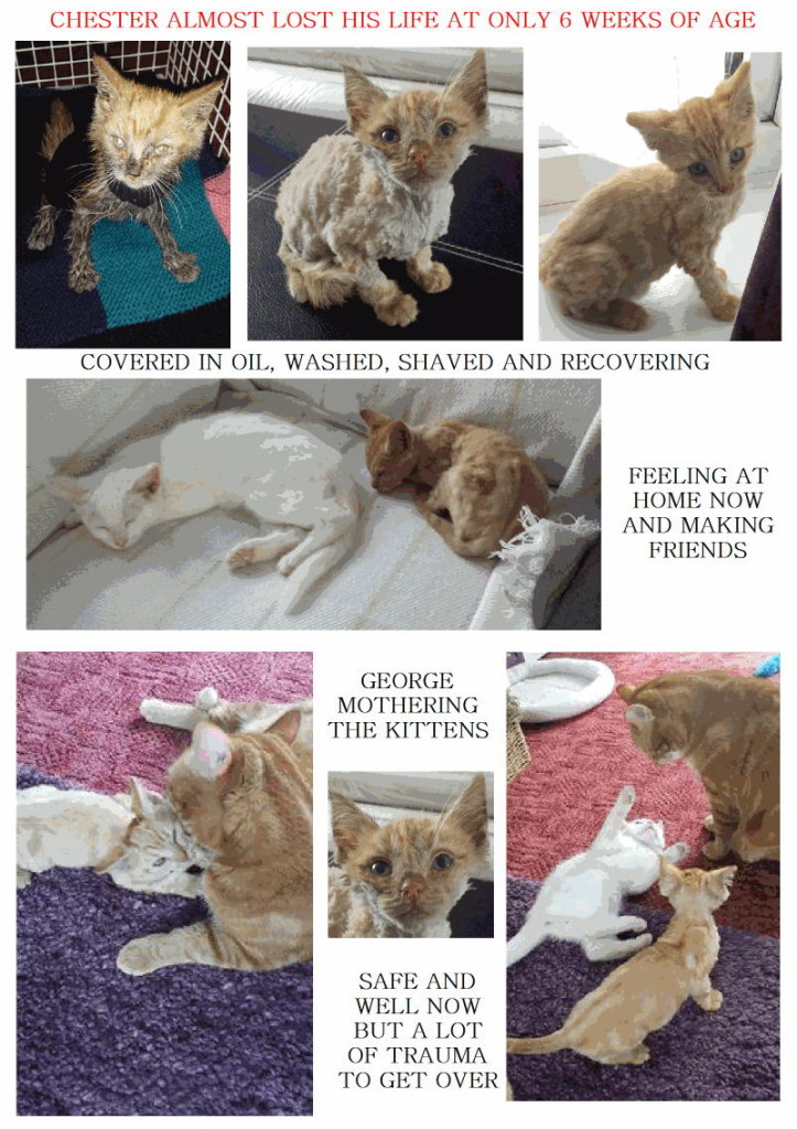 Chester a recovering cat abused cat