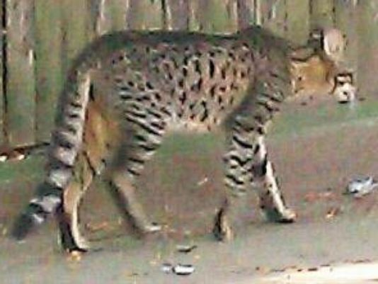 Detroit mystery cat