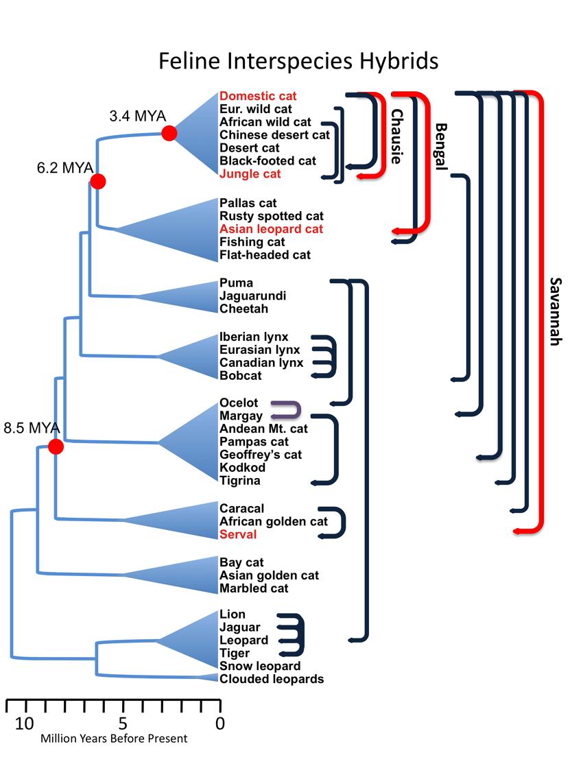 Feline Hybrids Chart