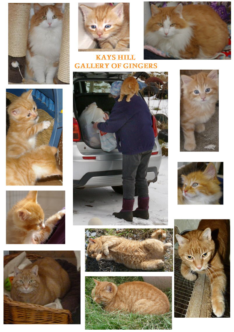 Gallery of ginger cats from Kays Hill
