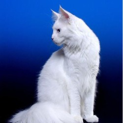 Deaf Fabulous White Maine Coon Show Cat