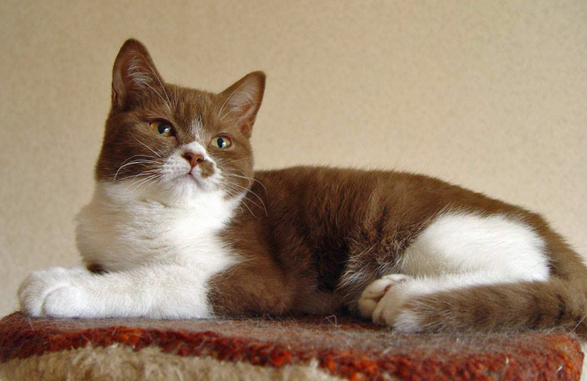 Pretty bicolor cat - tabby and white
