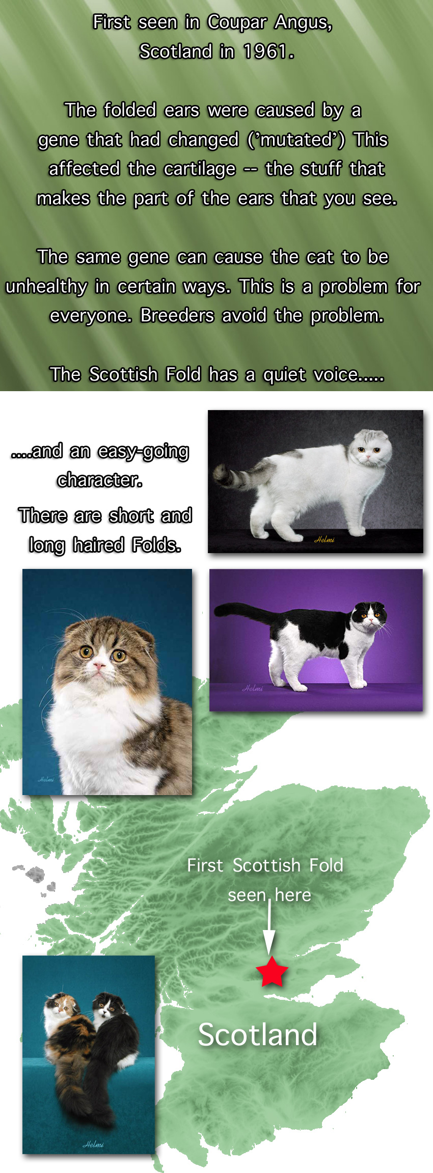 Scottish Fold Cat Facts For Kids
