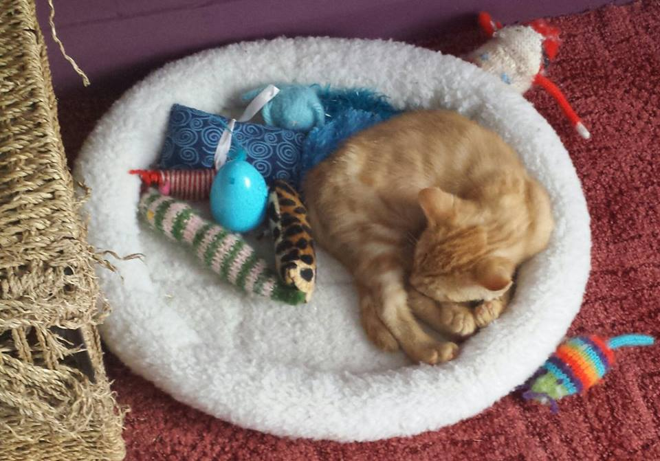 Cat sleeping with toys