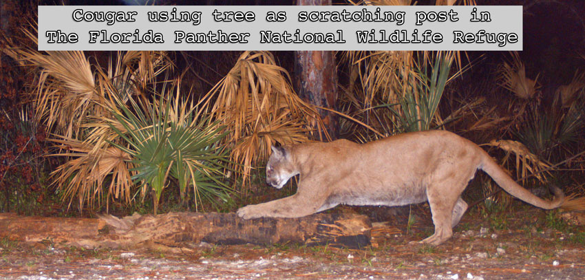 Florida cougar using tree as scratching post