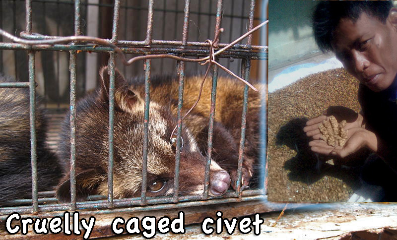 Caged civet kopi luwak cat poo coffee