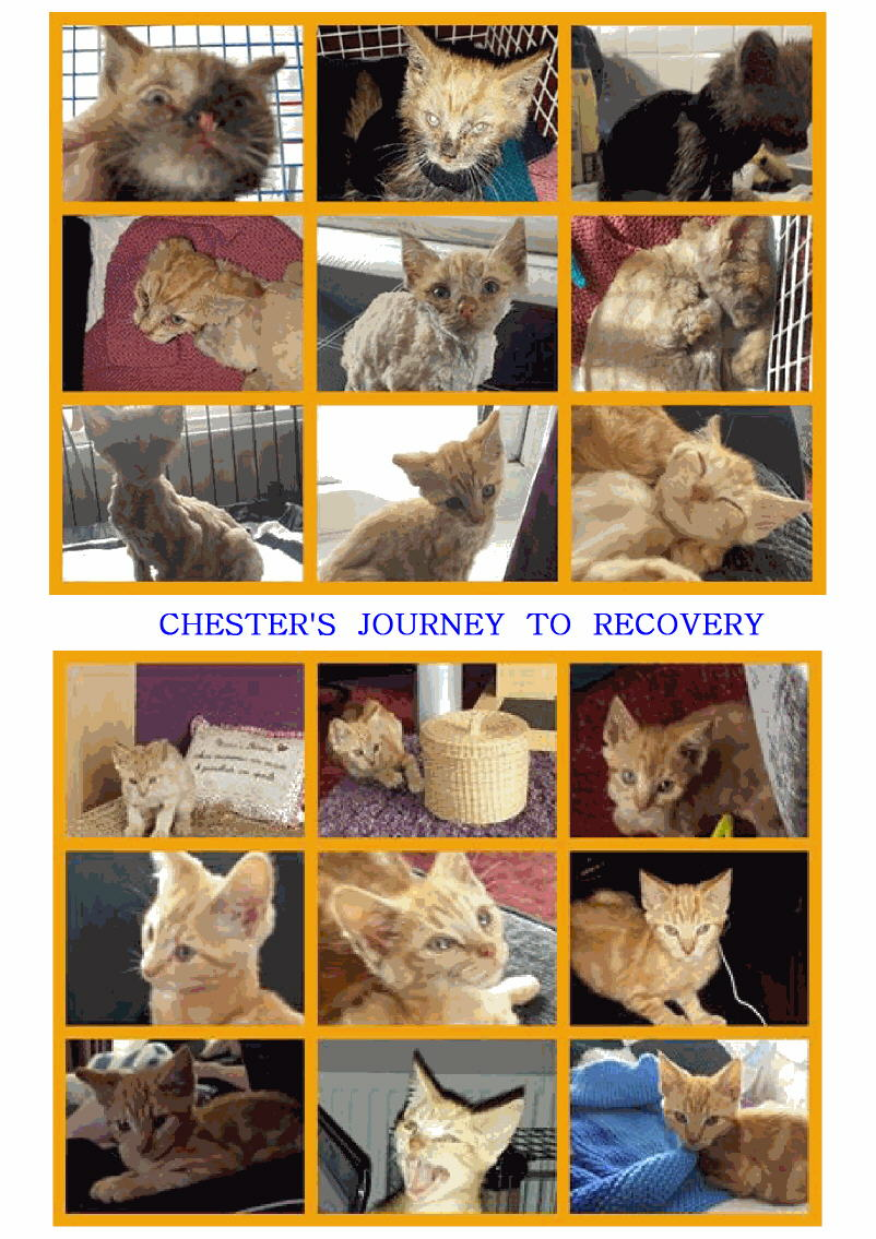 Chester Rescue Cat