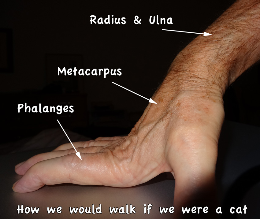 Comparison Human Hand And Arm To Cat Paw And Foreleg Poc