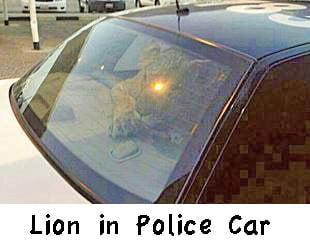 Kuwaiti lion in a police car