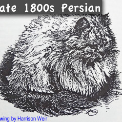 Late 1800s Persian Cat Drawing