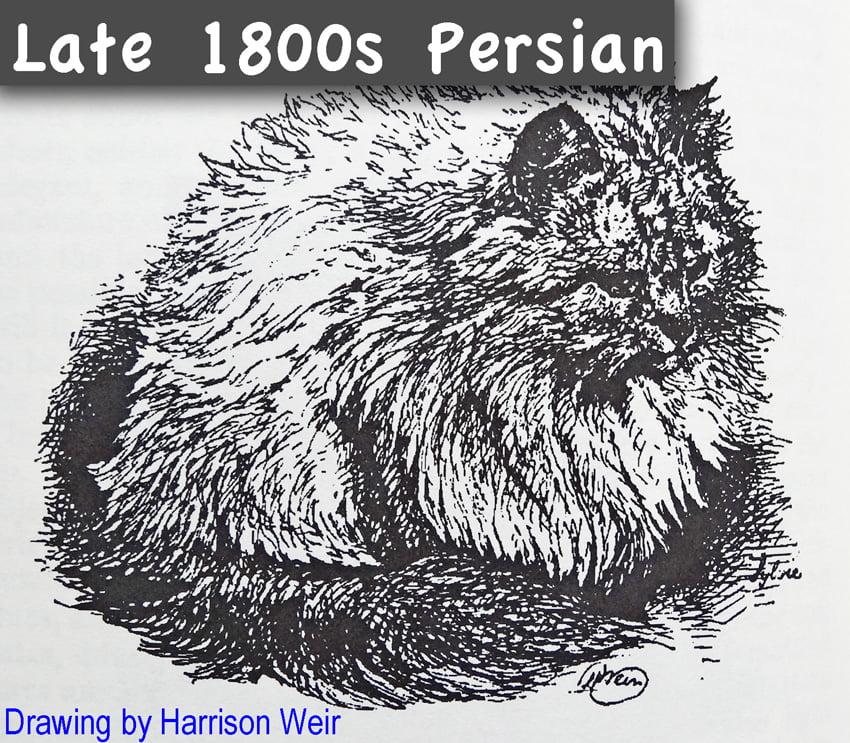 Late 1800s Persian Cat Drawing