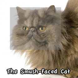 Smush faced Perian cat