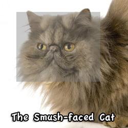 Smush faced Perian cat
