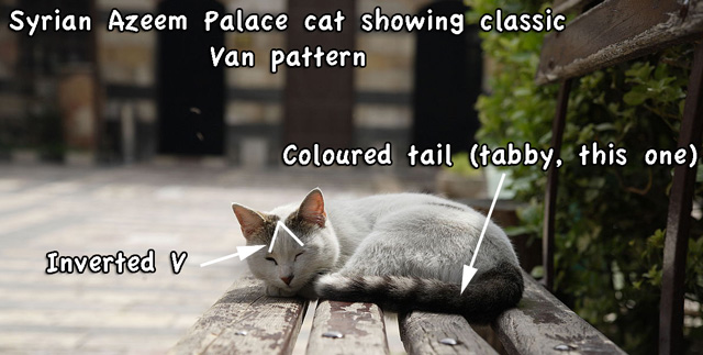 Syrian Van patterned street cat