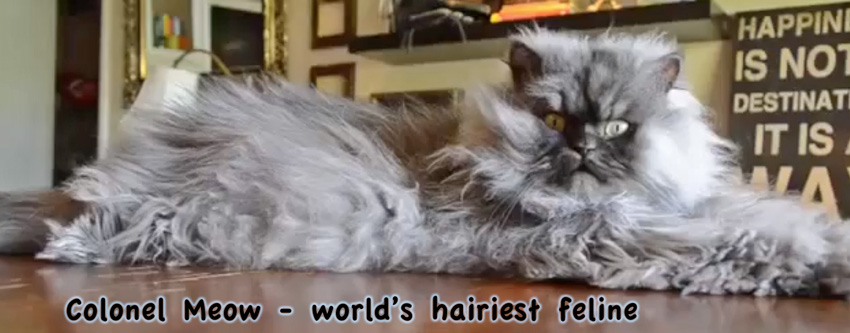 World's hairiest feline Colonel Meow a Himalayan cat