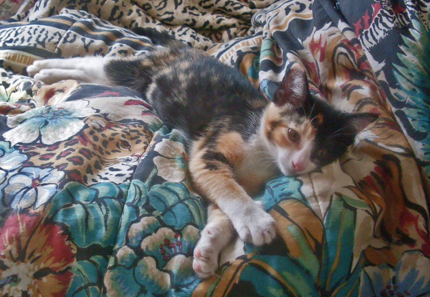 Calico kitten on a bed