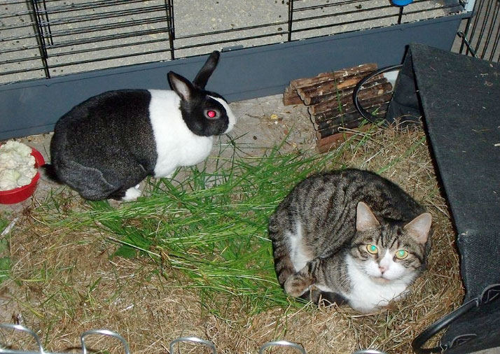 Cat and rabbit in a pen (enclosure)